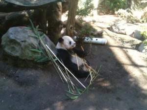Carmel Valley San Diego Community | San Diego Zoo | Panda